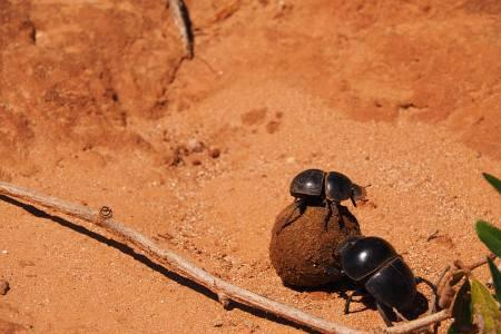 Südafrikareise 2014, Foto 03, Dung Beetles