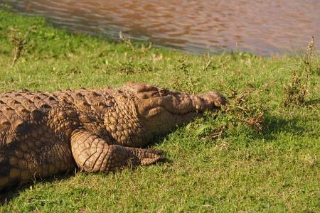 Südafrikareise 2014, Foto 05, Krokodil