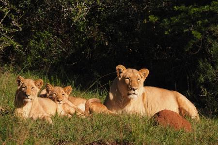 Südafrikareise 2014, Foto 06, Löwen in der Morgensonne