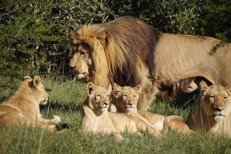 Südafrikareise 2014, Foto 07, Löwenfamilie