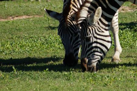 Südafrikareise 2014, Foto 09, Zwei Zebras