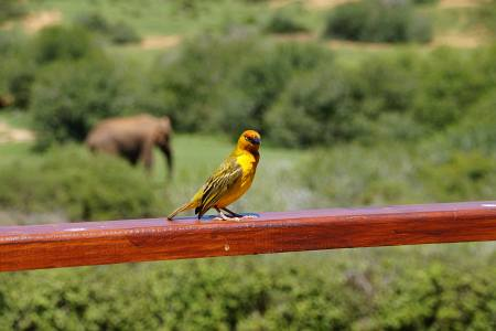 Südafrikareise 2014, Foto 10, Neugieriger Vogel