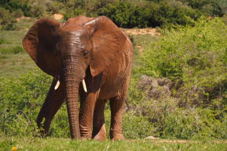 Südafrikareise 2014, Foto 11, Elefantenbulle