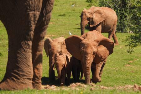 Südafrikareise 2014, Foto 13, Elefanten