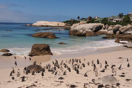 Südafrikareise 2014, Foto 32, Boulders Pinguinkolonie