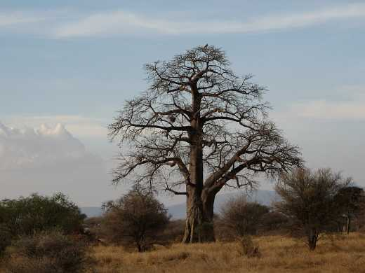 pin ein baobab baum im winterkleid ohne blaetter on pinterest. Black Bedroom Furniture Sets. Home Design Ideas